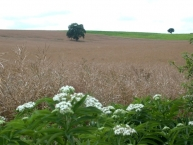 champ-de-colza-en-graines-france-photo-©-frederic-douard-www.bioenergie.promotion.fr