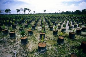 Plantation palmiers