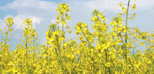 Les producteurs français d'oléagineux inquiets pour l'avenir du biodiesel national