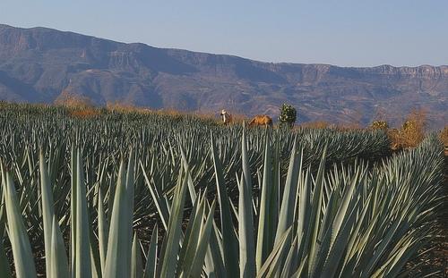 Les d chets de cactus de la production de tequila valoris s en granul s et briquettes - Agave du mexique ...