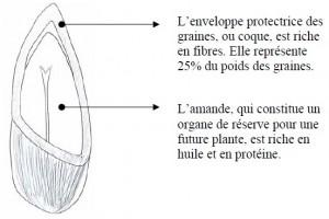 Schéma de la graine de tournesol