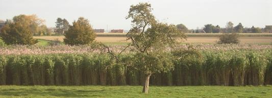Champ de miscanthus à Boussu en Wallonie, photo Olivier Ghesquière