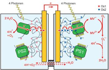 Principe des cellules solaires biophotovoltaïques, image Wiley-VCH