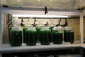 Micro-alges