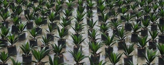 Pépinière de jeunes plants de palmiers à huile en Colombie. © Cirad, A. Rival