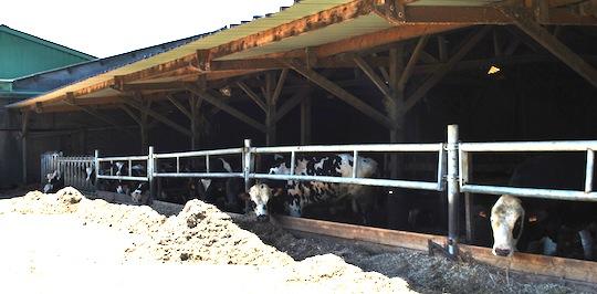 Le troupeau de 500 vaches laitières, photo M. Atinault, Alec 27
