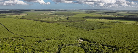 Forêt d'eucalyptus dans l'Etat de Bahia, photo Ricardo Teles