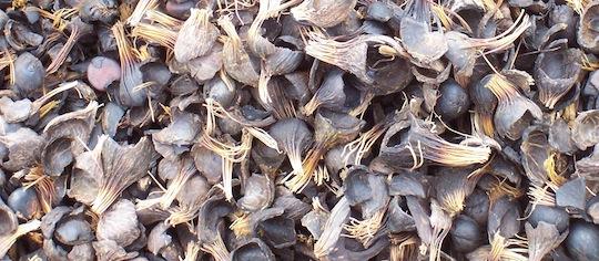 Les coques de noix de palmier à huile figureront sur la liste des combustibles de la centrale Biokala