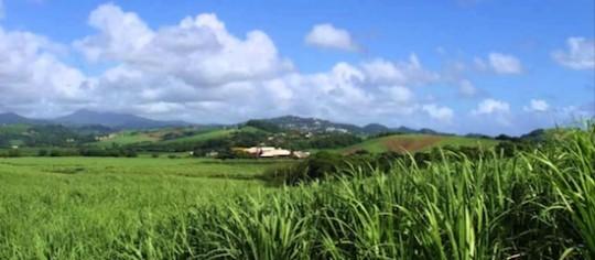 Champs de canne à sucre à Trinité
