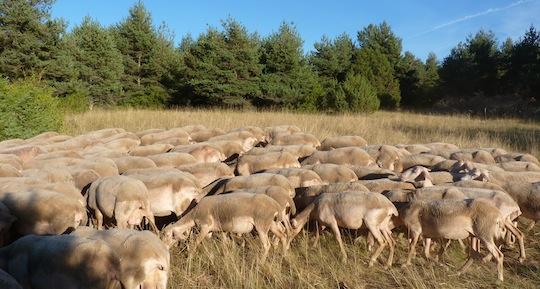 La production de bois-énergie permet de financer l'entretien des parcours des brebis, photo Frédéric Douard