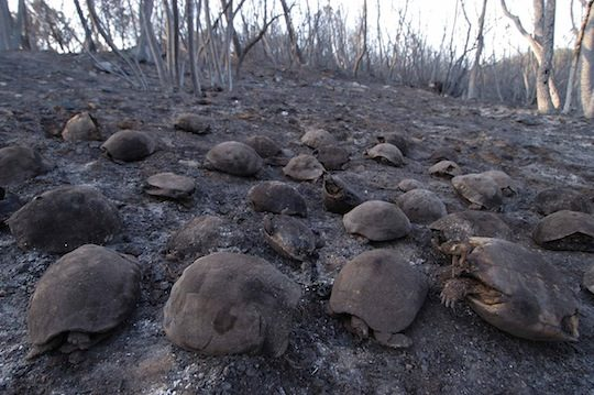 Tortues d'Hermann victimes d'un incendie