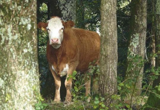 Vache montbéliarde en forêt, photo Chambre d'agriculture du Jura