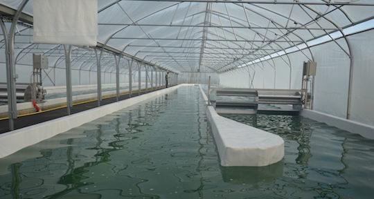 Les bassins de culture de la spiruline chez Métha Ternois, photo Frédéric Douard