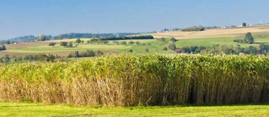 Champ de miscanthus en végétation, photo France Miscanthus