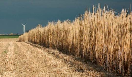 Champs de miscnathus prêt à être récolté, photo France Miscanthus