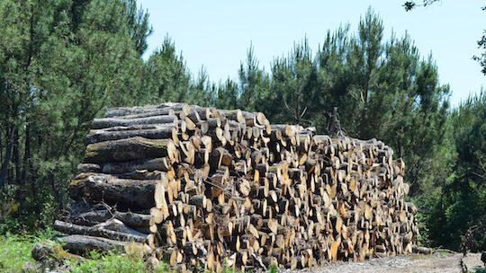 Pile de chêne dans le massif des Landes de Gascogne, photo Frédéric Douard