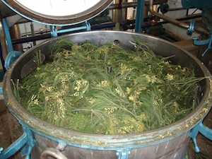 Cuve d'extraction du Mimosa au Maroc, photo Biolandes