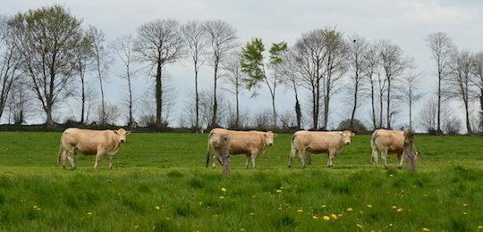 Troupeau de Blondes d'Aquitaine au GAEC Blanchelande à Fougerolles-du-Plessis en Mayenne, photo Frédéric Douard