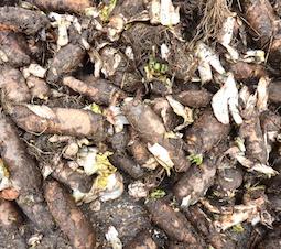 Les racines de chicons font partie des matières digérées par l'installation, photo Frédéric Douard