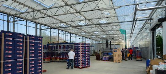 Atelier de conditionnement des tomates de l'EARL Saint-Nicolas, photo Frédéric Douard