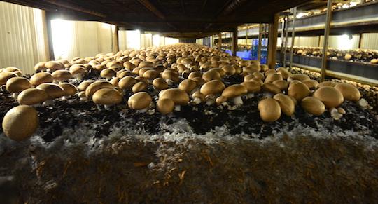La centrale de trigénération bois d'Uden garantit des champignons neutres en CO2