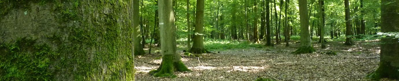 Hêtraie en forêt de Mormal, photo Frédéric Douard