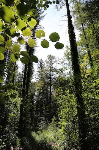 Le bois-énergie, gage de plus de biodiversité pour la forêt suisse